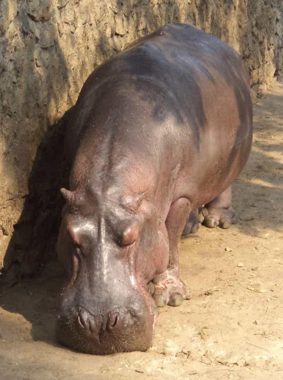 A hippopotamus inside Assam State Zoo, Guwahati