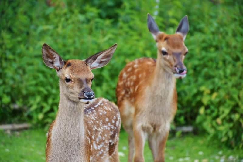 Deer at Dalma Wildlife Sanctuary
