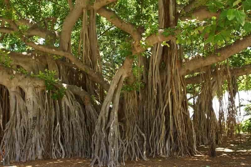 Banyan Tree in Tiptur