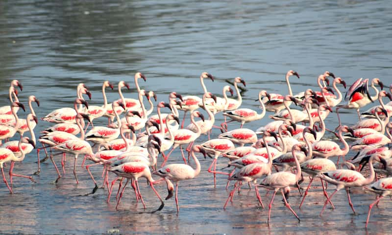 Hundreds of pink flamingos in Sewri