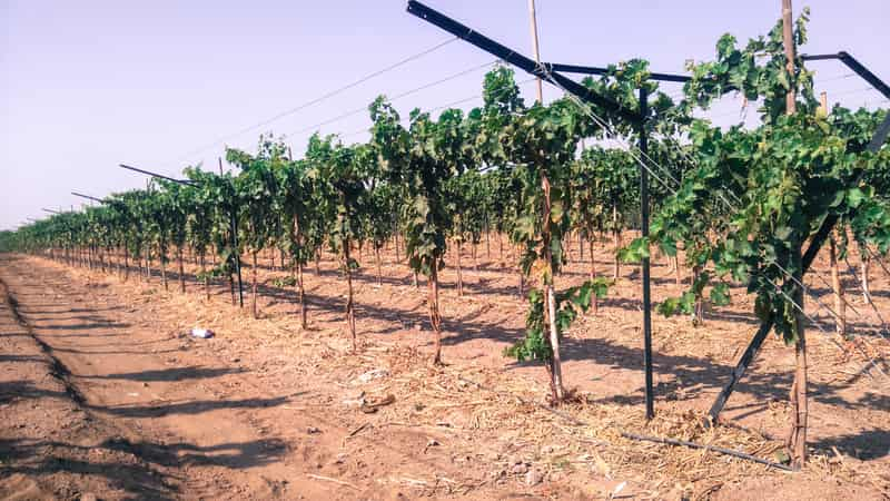 A vineyard in Nashik