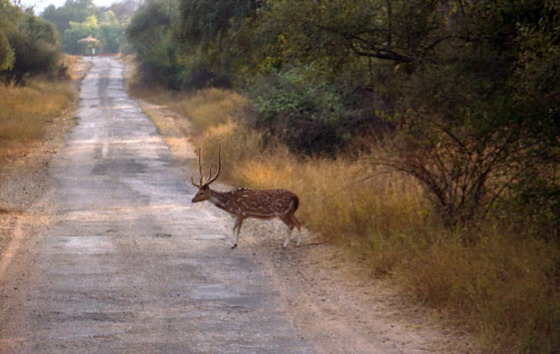 A Deer At TheSariska National Park