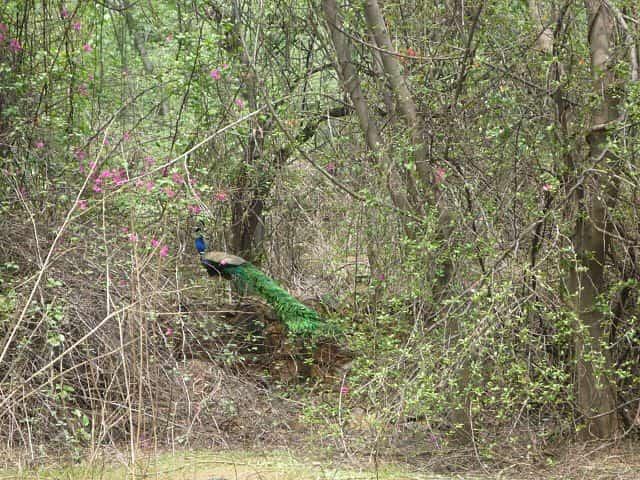A Peacock at the Ridge
