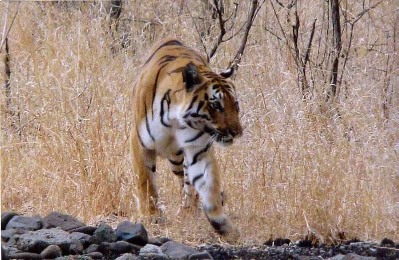 A tiger inside the Bor Wildlife Sanctuary
