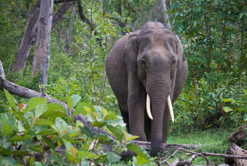 A wild Indian Elephant at the Nagarhole National Park