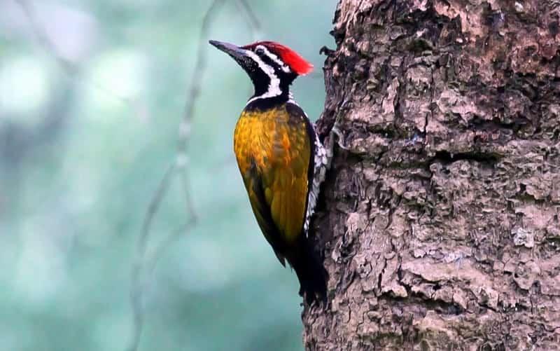 A woodpecker at the Radhanagari Wildlife Sanctuary