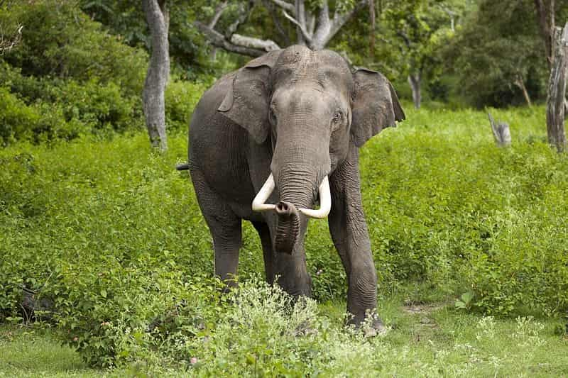 An Elephant at the Bandipur National Park