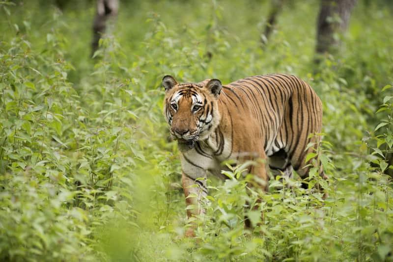 A Tiger at the Bandipur National Park