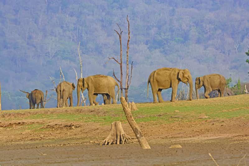 Elephants at the Nagarhole National Park
