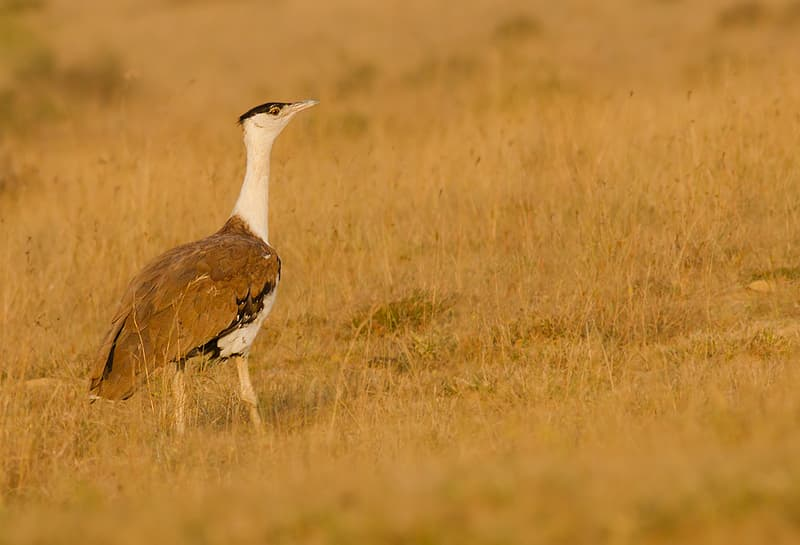 Great Indian Bustard Sanctuary, Nannaj