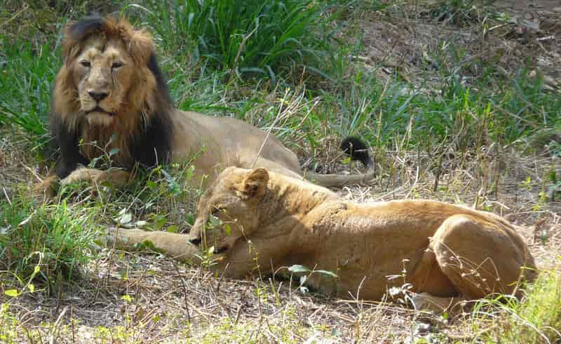Lions at the Bannerghatta National Park