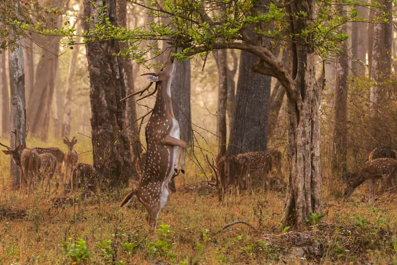 Deer at the Nagarhole National Park
