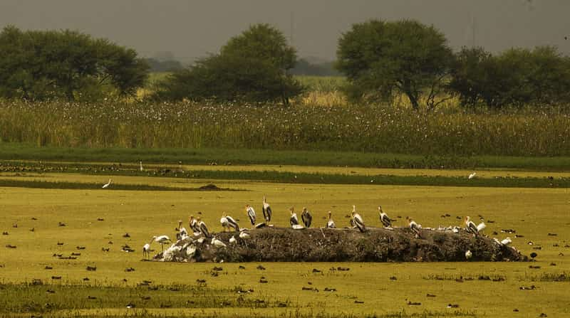 Nandur Madhmeshwar Bird Sanctuary, Niphad