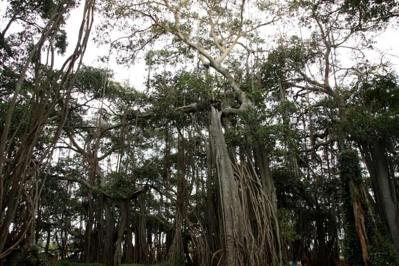 The Big Banyan Tree in Bangalore