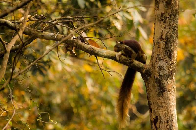 Giant squirrel at Dandeli