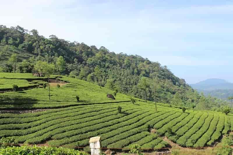A Tea Plantation in Munnar