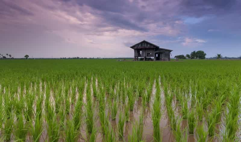 Cottage in a Rice Field