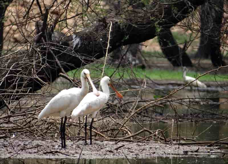 Eurasian spoonbill at Thattekad Bird Sanctuary