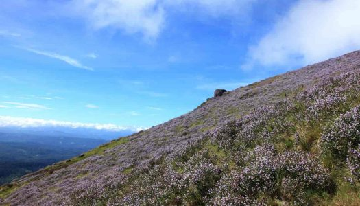 Neelakurinji Flowering Season Back After 12 Years: Here's All You Need To Know About It
